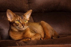 anh-meo-Abyssinian-2