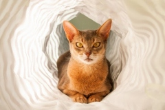 anh-meo-Abyssinian-4
