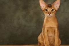 anh-meo-Abyssinian