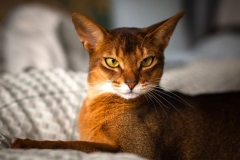 anh-meo-abyssinian-3