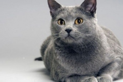 anh-meo-chartreux-4