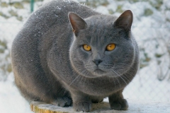 anh-meo-chartreux-5