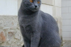 anh-meo-chartreux-6