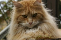 anh-meo-maine-coon-2