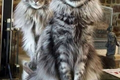 anh-meo-maine-coon-5
