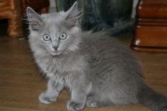 anh-meo-nebelung-5