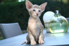 anh-meo-oriental-shorthair-2