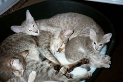anh-meo-oriental-shorthair-3