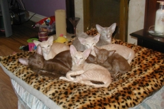 anh-meo-oriental-shorthair-4