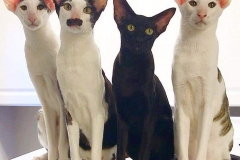 anh-meo-oriental-shorthair-5