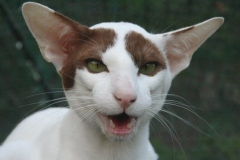 anh-meo-oriental-shorthair