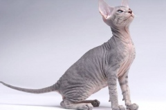 anh-meo-peterbald-3