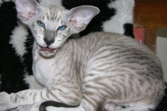 anh-meo-peterbald