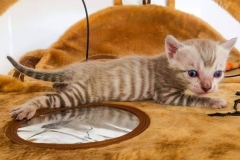 anh-meo-toyger-2