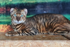 anh-meo-toyger-3
