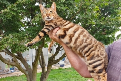 anh-meo-toyger