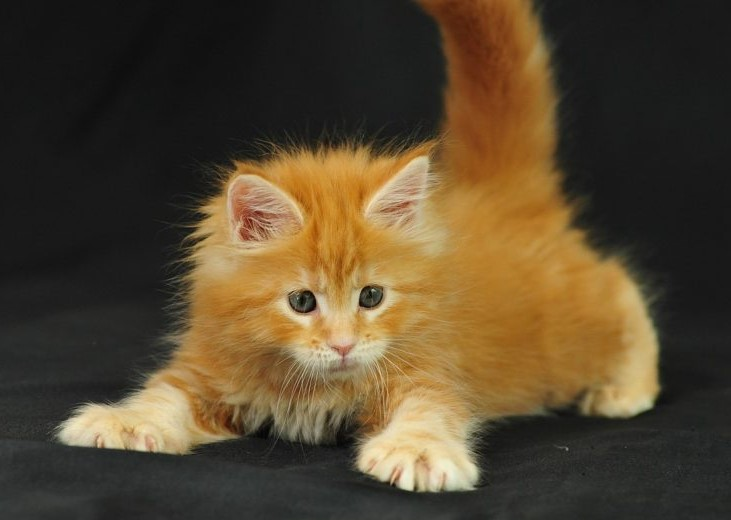 meo maine coon con