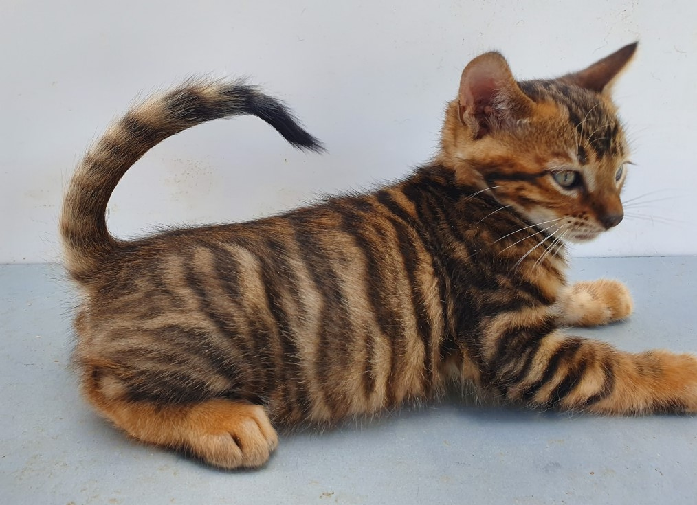 tinh cach meo Toyger